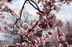Flores da flor de Pale Pink Sakura Flowering Cherry no ramo imagem de stock