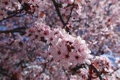 Flores da flor de Pale Pink Sakura Flowering Cherry no ramo fotografia de stock