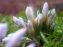 flores da flor do açafrão na mola Fotografia de Stock Royalty Free