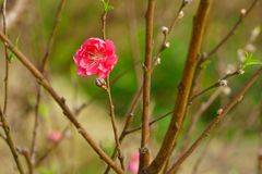 Flores da flor do pêssego na luz solar Sinais da mola Fotografia de Stock Royalty Free