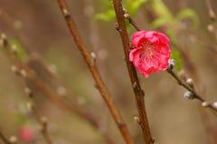 Flores da flor do pêssego na luz solar Sinais da mola Imagem de Stock Royalty Free
