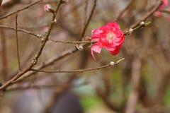 Flores da flor do pêssego na flor Sinais da mola Fotos de Stock