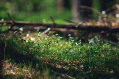 Flores da floresta Imagens de Stock Royalty Free