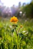 Flores da floresta em Sibéria, Globeflower Fotos de Stock