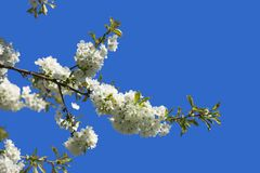 Flores da fruta Imagens de Stock Royalty Free