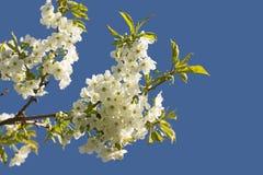 Flores da fruta fotos de stock