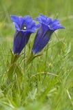 Flores da genciana Fotografia de Stock