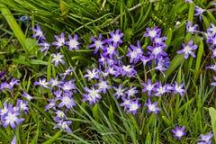 Flores da glória da neve, Chionodoxa, na mola fotografia de stock royalty free