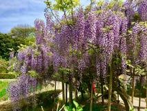 Flores da glicínia Fotos de Stock Royalty Free