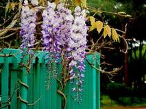 Flores da glicínia com abertura do fundo verde Fotos de Stock Royalty Free
