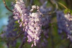 Flores da glicínia com abertura do fundo verde Imagem de Stock