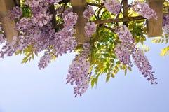 Flores da glicínia com abertura do fundo verde Foto de Stock Royalty Free