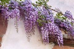 Flores da glicínia em França imagem de stock