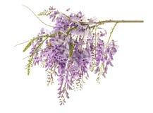 Flores da glicínia isoladas fotos de stock royalty free