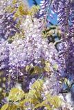 Flores da glicínia no fundo azul fotografia de stock