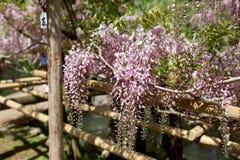 Flores da glicínia que penduram de uma treliça em Japão fotografia de stock