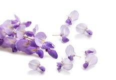 Flores da glic?nia com abertura do fundo verde imagens de stock royalty free