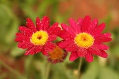 Flores da gota de orvalho Imagem de Stock Royalty Free