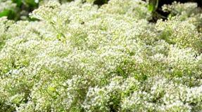 Flores da grama Fotos de Stock Royalty Free