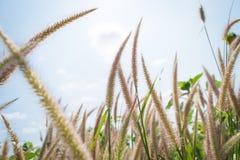 Flores da grama Imagem de Stock Royalty Free