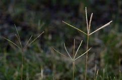 Flores da grama de Bermuda Imagens de Stock