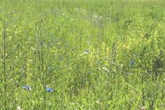 Flores da grama e do milho de prado Imagens de Stock