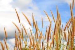 Flores da grama e fundo do céu. Imagem de Stock