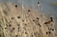 Flores da grama seca no fundo do borrão do parque Fotos de Stock