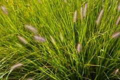 Flores da grama selvagem imagem de stock