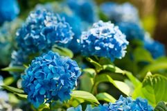 Flores da hortênsia imagens de stock