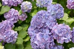 Flores da hortênsia Imagens de Stock Royalty Free