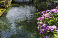 Flores da hortênsia de Lacecap imagens de stock royalty free