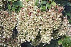 Flores da hortênsia do oakleaf do floco de neve imagem de stock royalty free