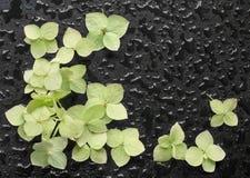 Flores da hortênsia em um fundo preto molhado Fotografia de Stock Royalty Free