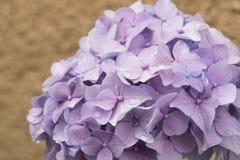 Flores da hortênsia, flores em botão lilás bonitas foto de stock