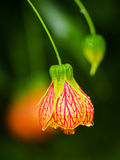 Flores da lanterna após a chuva Fotos de Stock