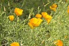 Flores da laranja da clareira imagem de stock royalty free
