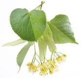 Flores da linden-árvore imagens de stock