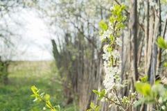 Flores da maçã Fotos de Stock