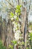 Flores da maçã Foto de Stock Royalty Free