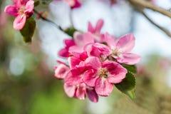 flores da maçã da flor no fundo borrado Fotografia de Stock Royalty Free