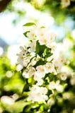 Flores da maçã da mola foto de stock