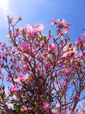 Flores da magnólia Imagem de Stock Royalty Free