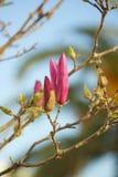 Flores da magnólia Fotografia de Stock Royalty Free