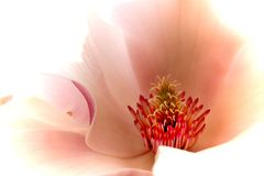 Flores da magnólia fotografia de stock