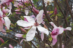 Flores da magnólia da aurora Imagem de Stock Royalty Free