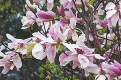 Flores da magnólia da aurora Imagens de Stock