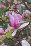 Flores da magnólia da aurora Imagens de Stock Royalty Free