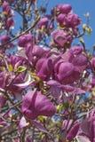 Flores da magnólia de pires de Grace McDade Foto de Stock