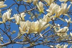 Flores da magnólia do cálice do marfim Foto de Stock